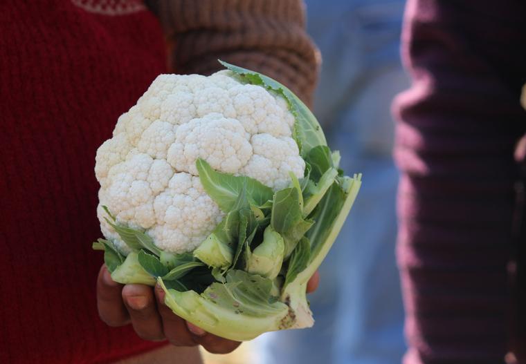 Ökologische Landwirtschaft. Frisch geernteter Bio Blumenkohl